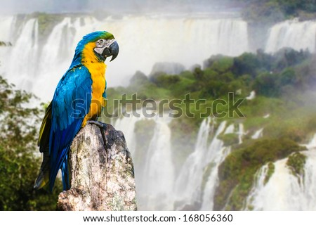 Blue and Yellow Macaw in Iguazu Falls, Brazil - stock photo