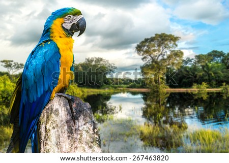 Blue and Yellow Macaw in Pantanal, Brazil - stock photo
