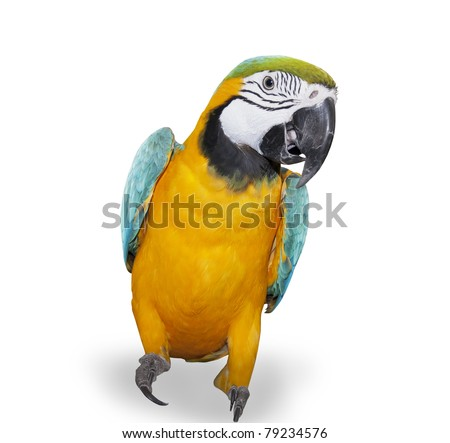 Blue-and-yellow Macaw over white background - stock photo