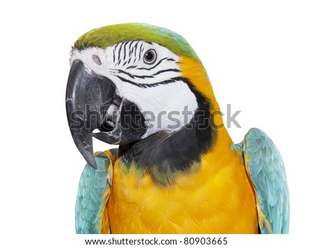 Blue-and-yellow Macaw over white background