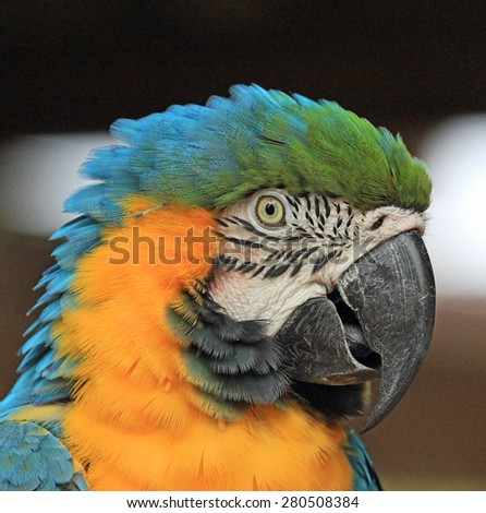 Blue and yellow Macaw - portrait - stock photo