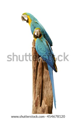 Blue and Yellow Macaws on a tree stump.