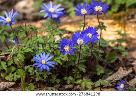 Blue Anemone flowers (Anemone blanda) in early Spring. - stock photo
