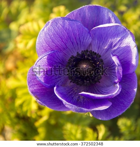 Blue Anemone in the spring field