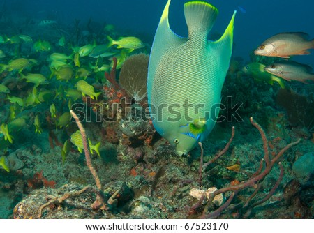 Blue Angelfish on a reef.  Picture taken in Palm Beach County, Florida.