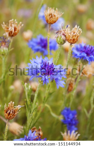 Blue bachelor's buttons on a field with other wild flowers - stock photo