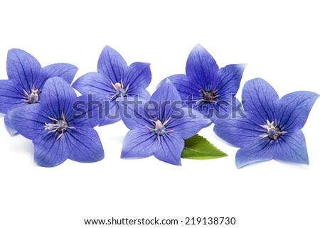 Blue bell flowers in a row on a white background