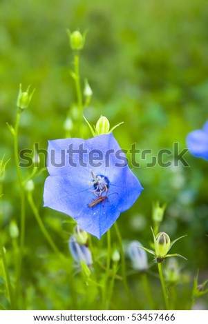 Blue bellflower on the blurred background