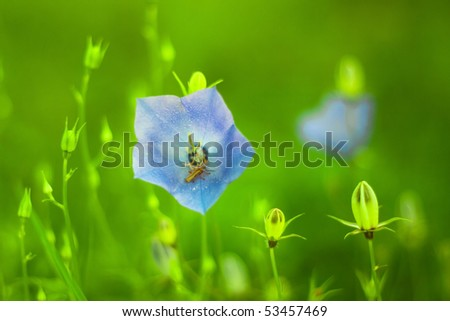 Blue bellflower on the blurred background - stock photo