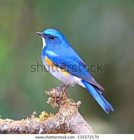 Blue bird, male Himalayan Bluetail (Tarsiger rufilatus) on a branch - stock photo