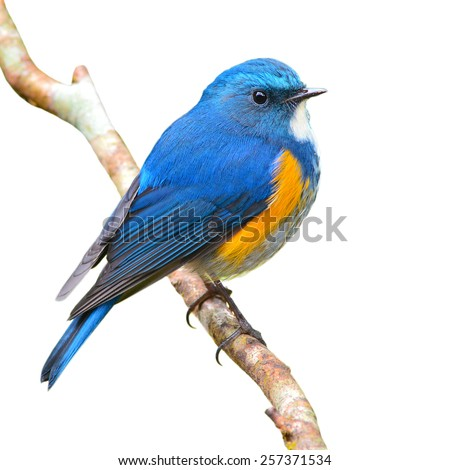 Blue bird, male Himalayan Bluetail (Tarsiger rufilatus) on a branch, isolated on a white background - stock photo