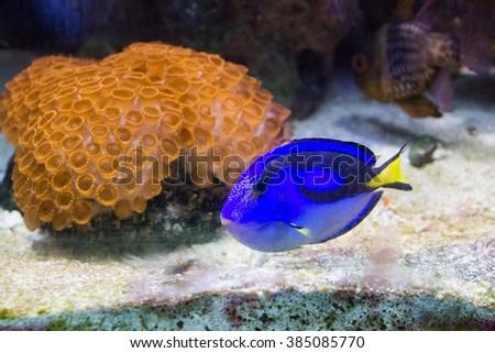 Blue, black and yellow fish-surgeon or blue regal tang (paracanthurus hepatus)aquarium fish - stock photo