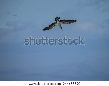 Blue booby birds diving for food - Galapagos Islands National Park - Ecuador South America - stock photo