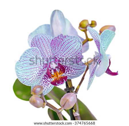 Blue branch orchid flowers with buds, green leaves, Orchidaceae, Phalaenopsis known as the Moth Orchid, abbreviated Phal. White background.