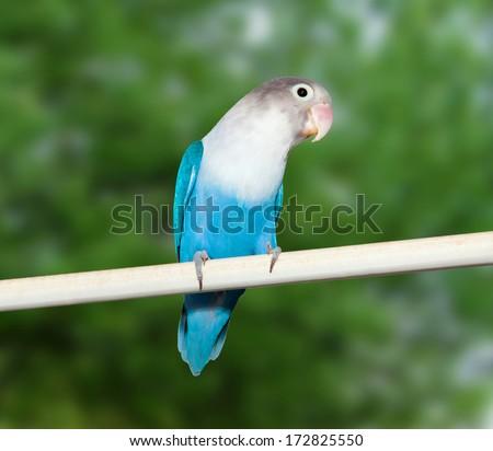Blue budgerigar (Fischer's Lovebird Clarified blue morph) on nature background - stock photo