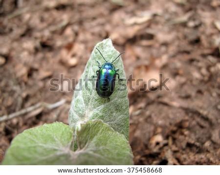 Blue bug on the green leaf. Closeup - stock photo