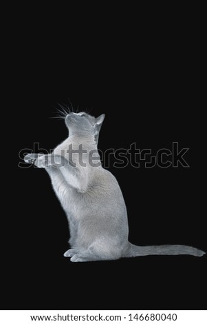 Blue Burmese cat sitting on hind legs against black background