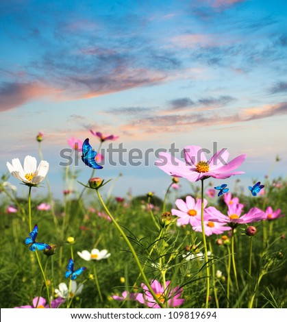 blue butterflies flying in cosmos flowers against a dusk sky - stock photo
