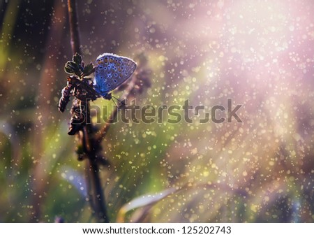 Blue butterfly in rain and sunset