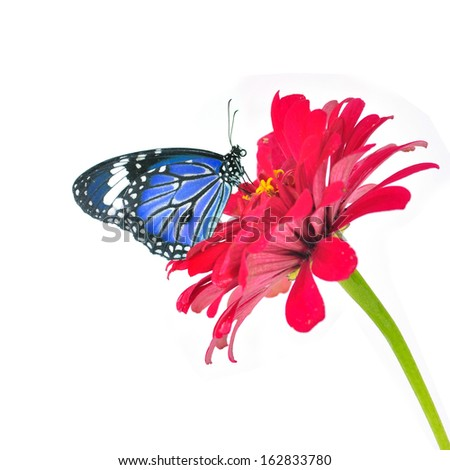 Blue butterfly on a red flower on white background - stock photo