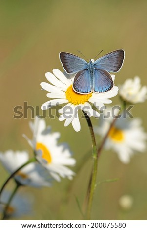 Blue butterfly on white flower  - stock photo