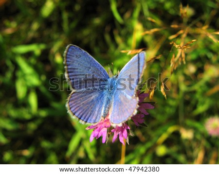 blue butterfly (Polyommatus icarus) - stock photo