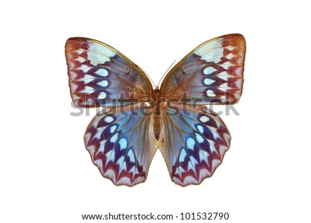 Blue butterfly (Stichophthalma godfreyi, The Godfrey Junglequeen) isolated on white background - stock photo