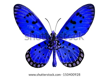 Blue butterfly, Tawny coster or Acraea violae, isolated on white background - stock photo