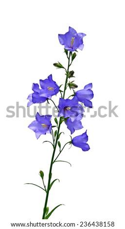 Blue campanula flowers isolated on white background - stock photo