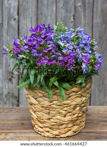 Blue Campanula or also known as Bellflowers in a Basket in front on a wooden Background.