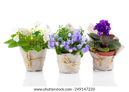 blue Campanula terry, blue and white Saintpaulias flowers in paper packaging, isolated on white background - stock photo