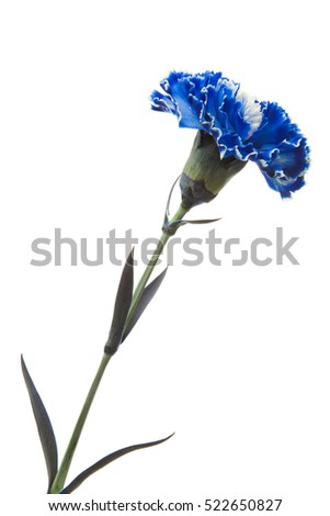 Blue carnation isolated on white background