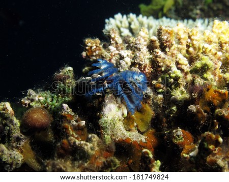 Blue Christmas tree worm (Sabellidae) - stock photo