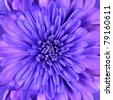 Blue Chrysanthemum Flower Head Closeup Detail - stock photo