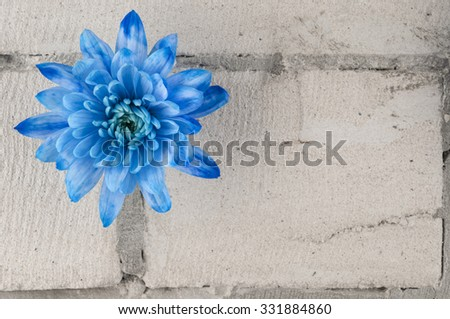 Blue chrysanthemum flower over grey brick wall