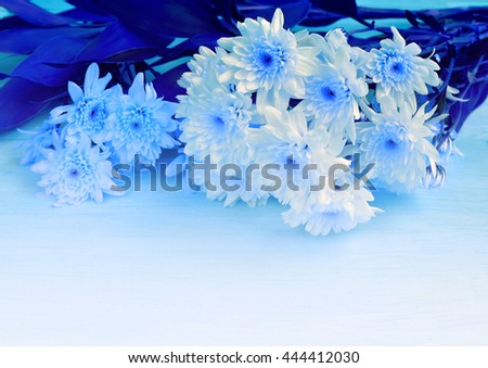 blue chrysanthemum flowers,backgrounds and copy space - stock photo