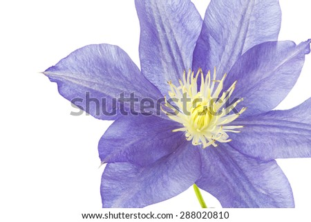 Blue Clematis flower, isolated on white - stock photo