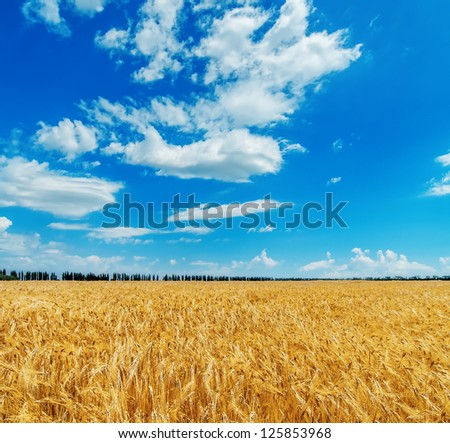 blue cloudy sky over golden field with barley - stock photo