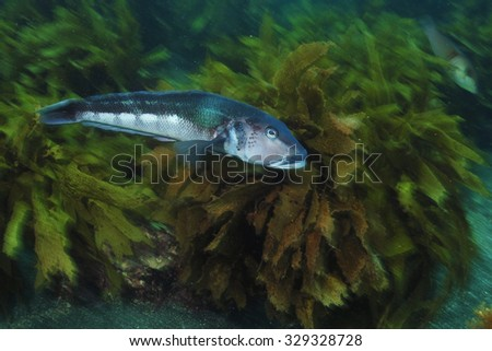 Blue cod Parapercis colias gliding through the kelp forest of mostly brown stalked kelp Ecklonia radiata. - stock photo