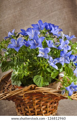 blue color campanula flowers in basket on canvas background - stock photo