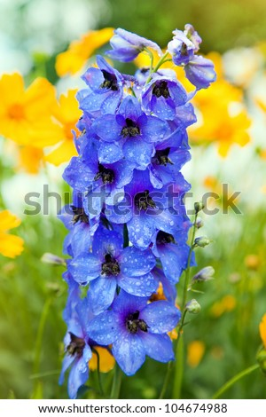 Blue Colored Delphinium Flowers and many yellow flowers  in Field - stock photo