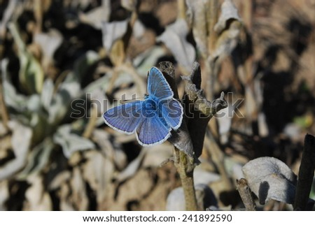 Blue common butterfly, Czech republic, Europe - stock photo