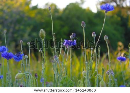 Blue corn flowers - stock photo