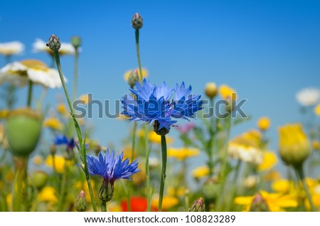 Blue Cornflower amidst white and yellow Daisies