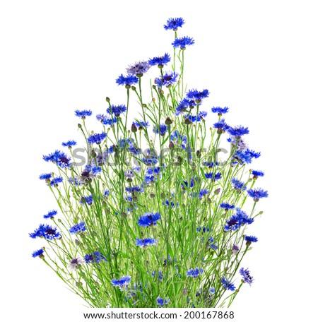blue cornflower bunch, isolated on white background - stock photo