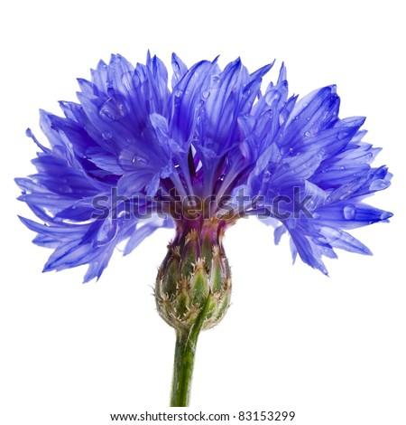 blue cornflower centaurea isolated on a white - stock photo
