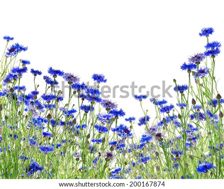 blue cornflower field,  isolated on white background - stock photo