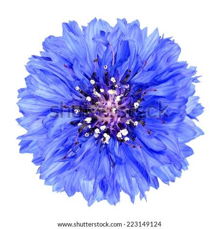 Blue Cornflower Flower Isolated on White Background . Centaurea cyanus flowerhead wildflower on plain background - stock photo