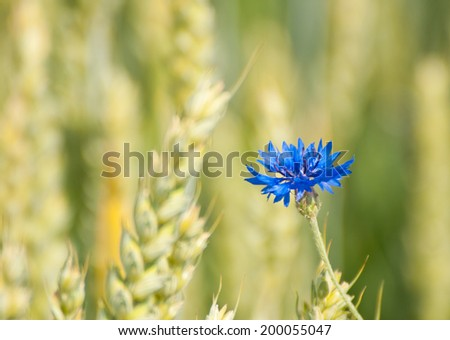 blue cornflower outgrowing of a wheat field