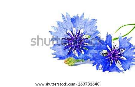 blue cornflowers  isolated - stock photo